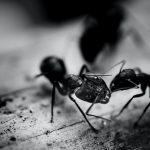 Cómo acabar con las hormigas en casa