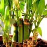 Cómo cultivar bambú en casa