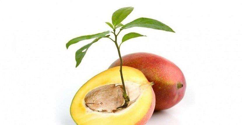 Semilla mango
