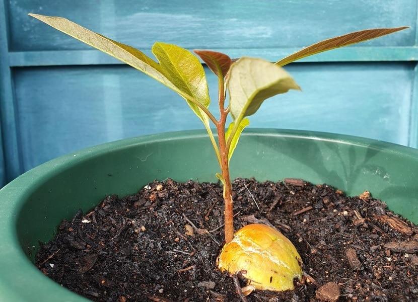 Planta aguacate