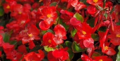 Cómo cuidar begonias