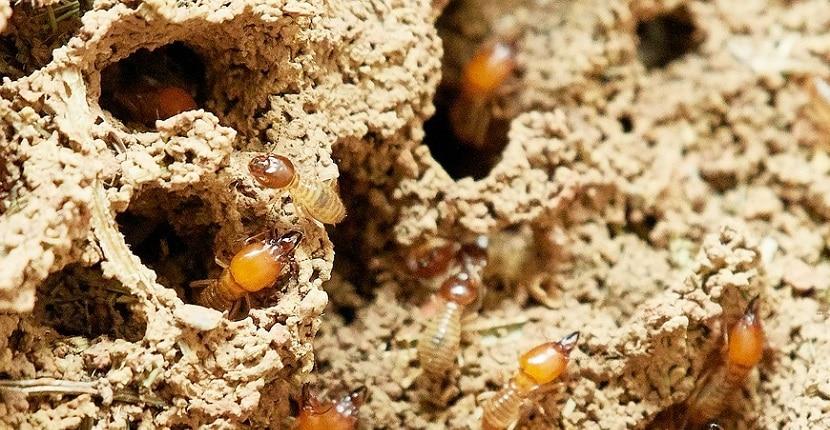 Cómo eliminar termitas con remedios caseros